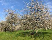 Kirschblüte in der Fränkischen